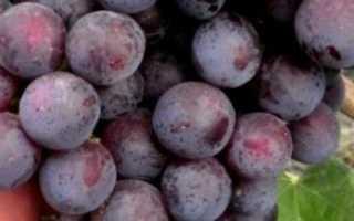 Виноград Рошфор: характеристики сорта, фото, плюсы и минусы, выращивание, отзывы