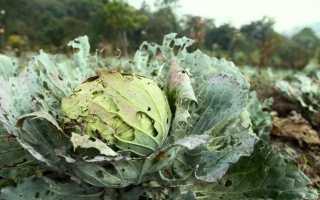 Борьба с вредителями капусты – народные средства и советы, Сайт о саде, даче и комнатных растениях
