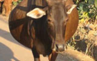 Беременность у коровы: что нужно знать?