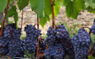 Виноград «альфа»: описание сорта, фото и отзывы о нем. Основные его плюсы и минусы, характеристики и особенности выращивания в регионах
