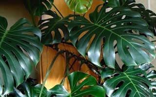 Дольчатый филодендрон – особенности выращивания в домашних условиях, видео