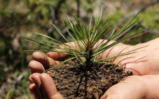 Как посадить сосну на участке: время посадки, расстояние между соснами, подготовка почвы, посадка и уход в домашних условиях, фото