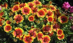 Гайлардия лоренциана выращивание из семян когда сажать