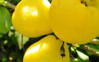 Айва японская, сорта, описание, фото, условия выращивания, уход, болезнии и вредители, применение