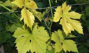 Желтеют листья винограда: как найти причину и что делать с кустом