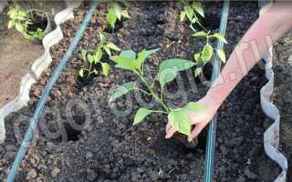 Как высаживать рассаду перцев в теплицу из поликарбоната