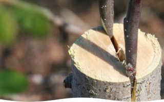Как привить яблоню весной: сроки, когда лучше прививать, пошаговое руководство