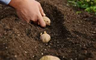 Как правильно сажать картофель весной в открытый грунт?