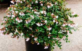 Абелия китайская (Abelia chinensis) — описание, выращивание, фото