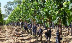 Виноград одноплоскостная шпалера двухплоскостная размеры