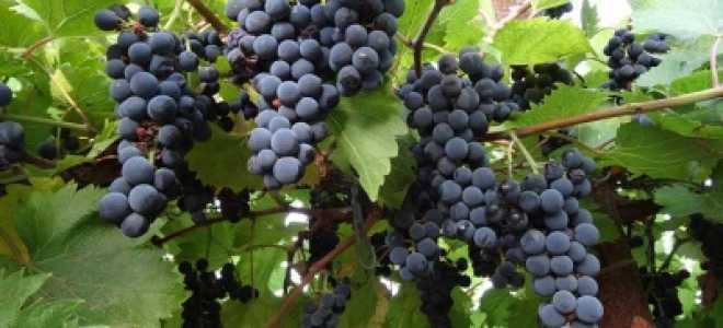 Виноград «Маркетт» (14 фото): описание и характеристика сорта, уход за кустом, отзывы