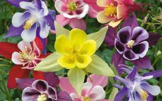Аквилегия или водосбор: описание растения, популярные сорта с описанием и фото, особенности выращивания в открытом грунте