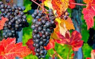 Как подготовить и правильно укрыть виноград на зиму