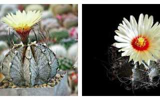 Астрофитум — мексиканский красавец: популярные виды кактуса