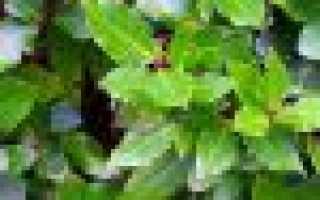 Домашний лавр: уход в домашних условиях, виды, размножение и пересадка