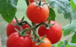 Выращивание томатов в дачной теплице из поликарбоната