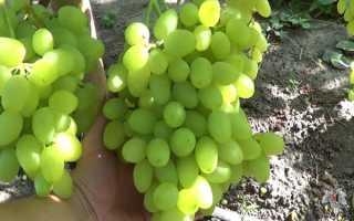 Виноград Долгожданный: отзывы, характеристика, секреты посадки
