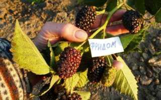 Ежевика Прайм Арк Фридом: преимущества сорта и технология выращивания