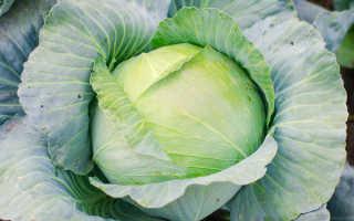 Главные правила выращивания крепкой и крупной капусты