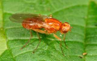 Как прогнать морковную муху