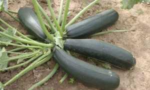 Кабачок цуккини Черный красавец: описание раннего сорта, правила выращивания и ухода