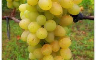 Виноград Плевен устойчивый Августин и мускатный, описание сорта, особенности