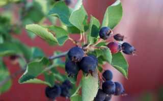 Ирга: посадка, выращивание и уход, обрезка, популярные сорта