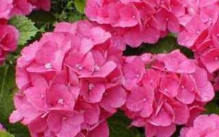 Гортензия комнатная: как выполнить капризы экзотической красавицы