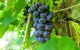 Вино из винограда Изабелла рецепт приготовления дома