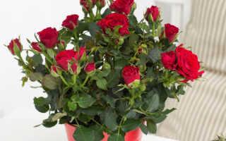 Как вырасти розу комнатную