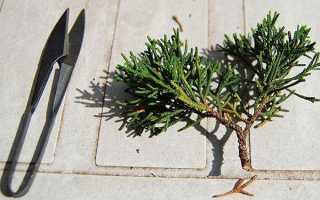 Как размножать можжевельник весной черенкованием