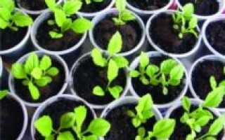 Как вырастить астры из семян на даче?