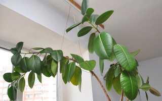 Как размножить фикус в домашних условиях: способы рассадки