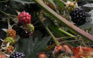 Ежевика Агавам: описание сорта, руководство по выращиванию