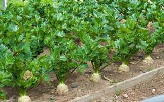 Выращивание сельдерея на даче