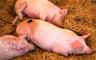 Африканская чума свиней: что это такое, симптомы вируса АЧС, профилактика