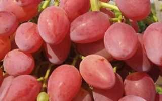 Виноград Кишмиш лучистый описание и характеристика сорта, выращивание и уход, отзывы, фото