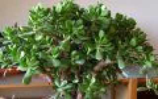 Как правильно посадить денежное дерево в домашних условиях и ухаживать за ним