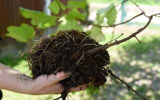 Вырастить столовый виноград дома