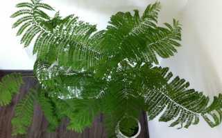 Жакаранда. Все статьи о растении. Описание, выращивание и уход