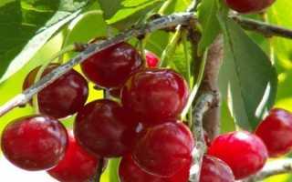 Вишня Шалунья: описание и характеристики сорта, правила выращивания и ухода