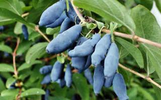 Голубые ягоды жимолости: описание с фото, полезные свойства и время сбора