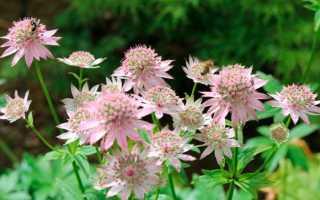 Астранция (Astrantia) — описание, выращивание, фото