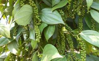Выращиваем чёрный перец