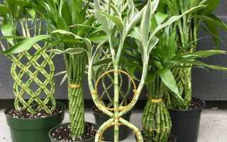 Драцена сандериана: описание и условия содержания растения