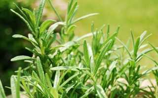 Выращивание розмарина в саду – как все лето иметь под рукой ароматную зелень