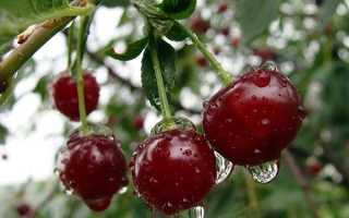 Вишня «Жуковская»: особенности выращивания