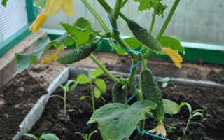 Выращивание огурцов в теплице из поликарбоната: как посадить и ухаживать