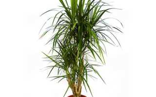 Драцена маргината — особенности вида, характеристика сортов, организация условий для выращивания