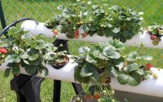 Все о посадке ампельной клубники: выращивание и уход, лучшие сорта